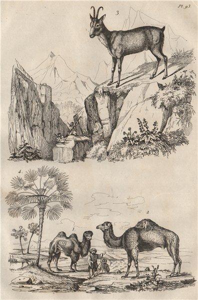 Associate Product Chameaux (Camels). Chamois. Chamaerops (Dwarf fan palm) 1834 old antique print