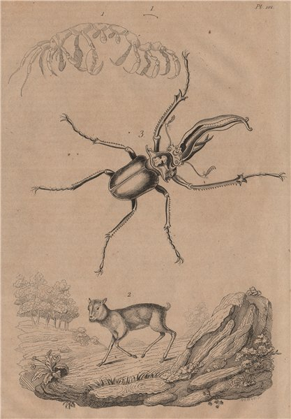 Associate Product Capralla phasma (skeleton shrimp). Mouse Deer. Chiasognathus (stag beetle) 1834