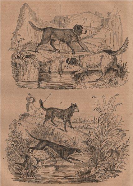 Associate Product Sheep dog. St Bernard. Ffoxhound/hunting/game dog. White Newfoundland dog 1834