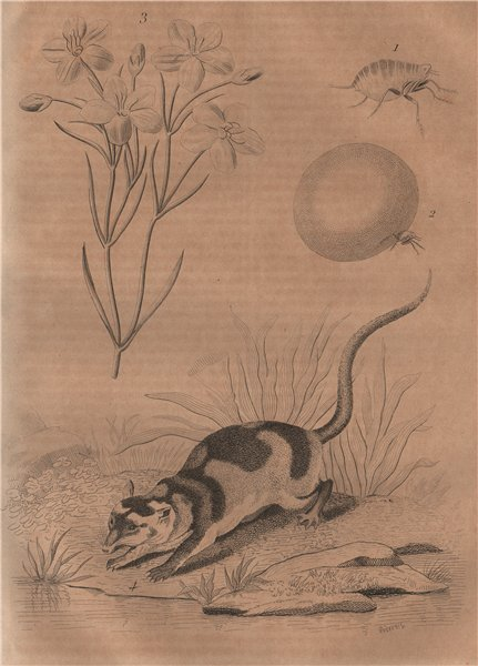 Associate Product Chique (chigoe flea). Chironia. Chironecte (Water Opposum) 1834 old print