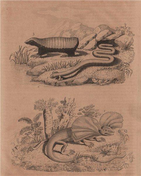 Bipes (ajolotes). Frill Necked Lizard. Chlamyphorus (Pink Fairy Armadillo) 1834