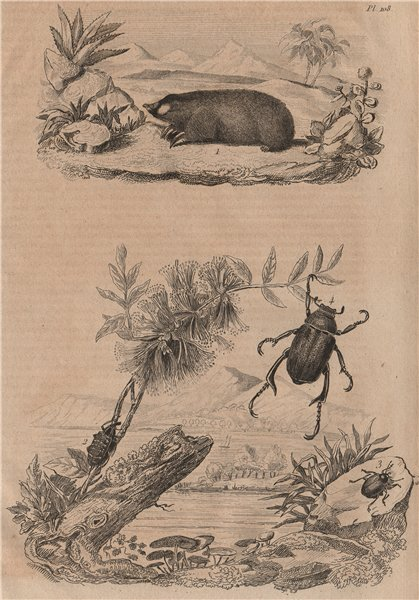 Associate Product Golden mole. Sapphire weevil. Chrysomelidae. Shining leaf chafer beetle 1834
