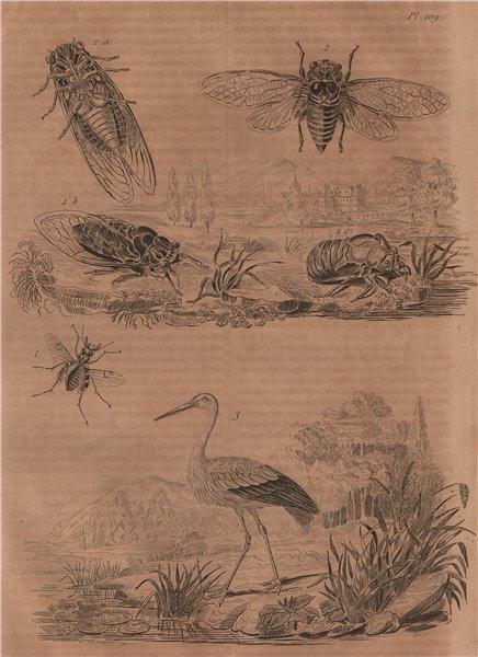 Associate Product Cicindele (Tiger Beetle). Cigale (cicada). Cigogne (Stork) 1834 old print