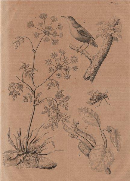 Associate Product PLANTS. Ciguë (Hemlock). Cimbex (Sawfly). Cincle (European Dipper) 1834 print