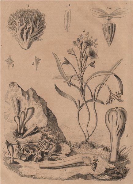 Clavariadelphus fungi. Strict-branch coral. Claytonia (Spring Beauty) 1834