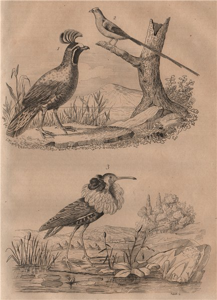 Associate Product BIRDS. California Quail. Coliou (Mousebird). Combattant. Ruff 1834 old print