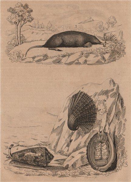 Associate Product Concholepas (Chilean abalone). Condylure (Nosed Mole). Conus sea snail 1834