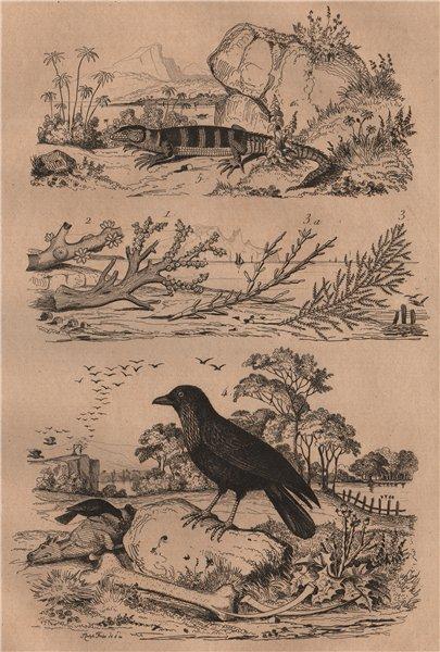 Associate Product Coral. Coralline algae. Corbeau (Raven). Cordyle (Armadillo girdled lizard) 1834