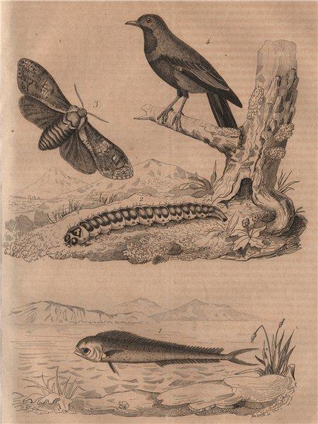 Associate Product ANIMALS. Coryphaena Dolphinfish). Cossus (Goat moth). Blue Cotinga 1834 print