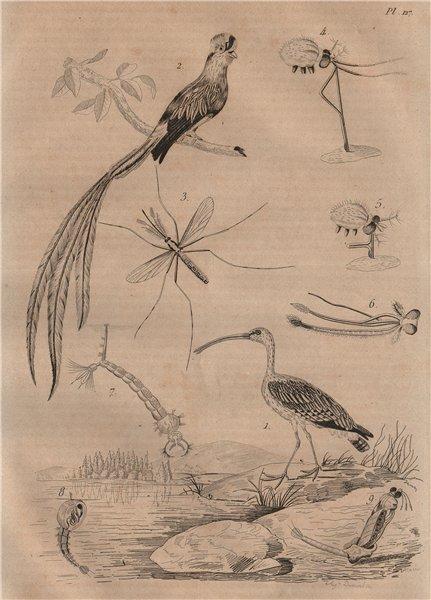 Associate Product BIRDS. Courlis (Curlew). Quetzal. Cousin Cranefly 1834 old antique print