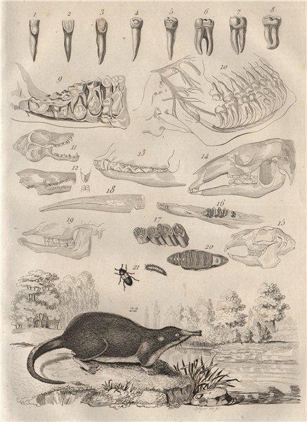 Associate Product MAMMAL TEETH. Dents Mammiferes (Teeth Mammals). Dermestes beetle. Desman 1834