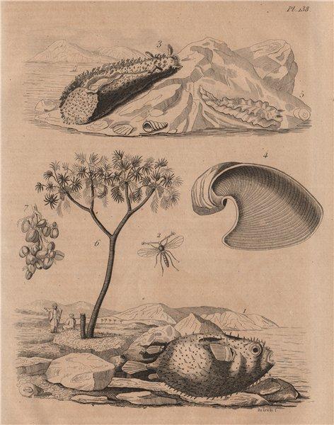 Associate Product Porcupinefish. Diopsis/ichneumon wasp. Sea hare. Doris sea slug. Doum palm 1834