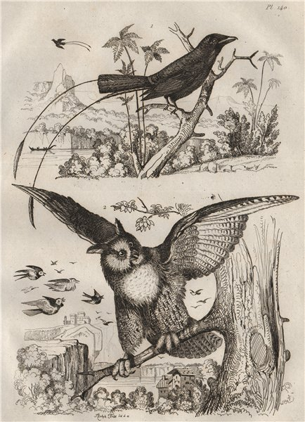 Associate Product BIRDS. Greater Racket-tailed Drongo. Duc (Eurasian Eagle-Owl) 1834 old print