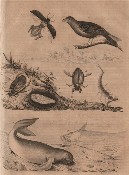 Associate Product Dugong. Durbec - Pine Grosbeak. Dytiscidae (Diving Beetles) 1834 old print