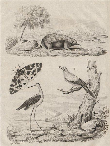 Garden tiger moth/Arctia caja. Stilt. Cuckooshrike. Echidna/spiny anteater 1834