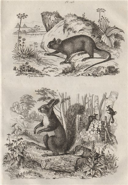 Associate Product RODENTS. Echimys (Spiny Tree-rat). Ecureuil (Squirrel) 1834 old antique print