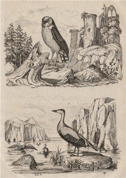 BIRDS. Effraie (Barn Owl). Eider duck 1834 old antique vintage print picture