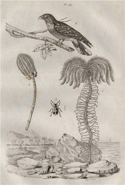 Associate Product Encrine/stone lily. Endomychus coccineus (Handsome fungus beetle). Nightjar 1834