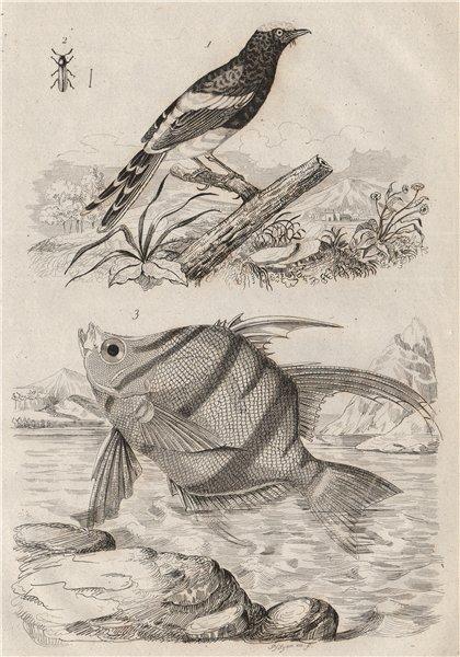 Associate Product Enicure (Forktail). Enoplie. Enoplosus armatus (Old wife) 1834 print