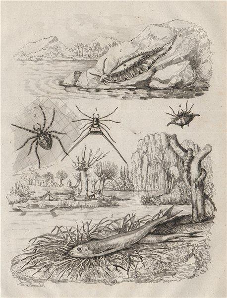 Associate Product Eolide (Aeolidioidea - sea slug). Epeire (Spiders). Eperlan (Mudfish) 1834