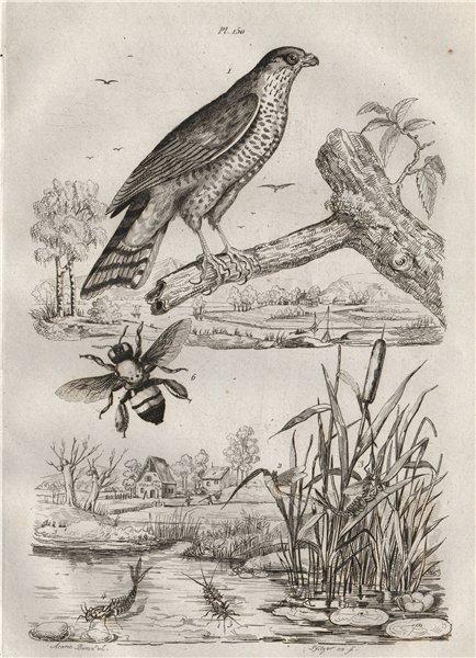 Associate Product Epervier (Sparrowhawk). Ephémère (Mayfly). Epicharis (apid bee) 1834 old print
