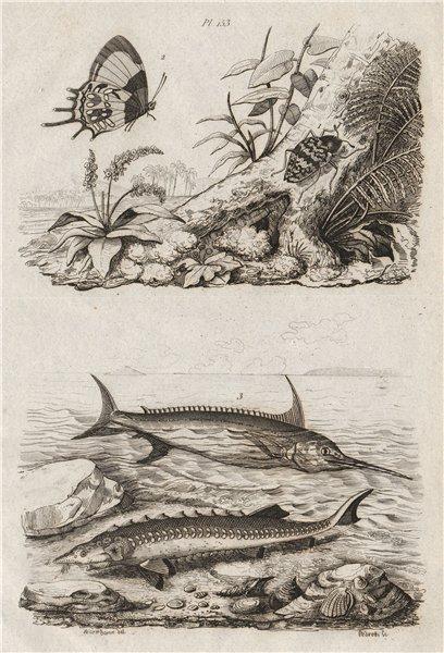 Associate Product Erotylidae (pleasing fungus beetle). Erycina butterfly. Swordfish. Sturgeon 1834