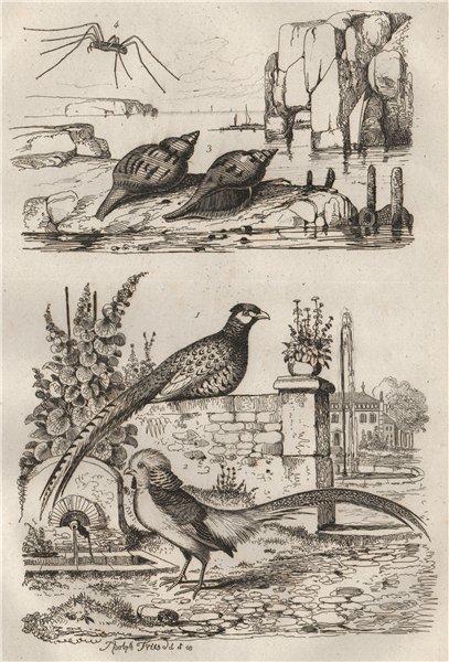 Associate Product Common/Golden Pheasants.Fasciolaria/Tulip snail.Opiliones/Harvestman spider 1834