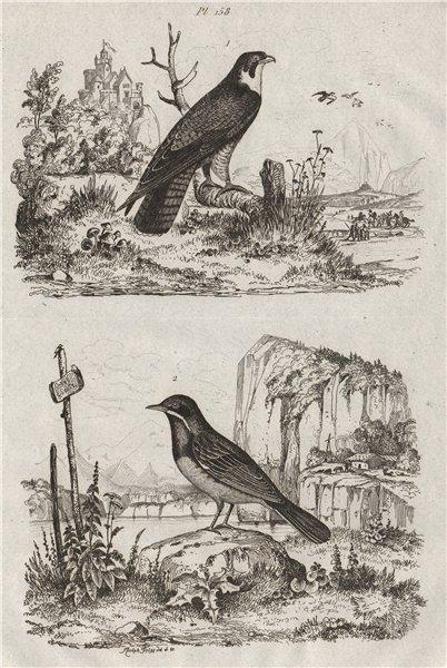 Associate Product BIRDS. Faucon (Falcon). Fauvette (Warbler) 1834 old antique print picture