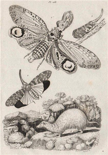 Associate Product ANIMALS. Fulgora Laternaria (Lantern Fly). Planthopper. Furet (Ferret) 1834