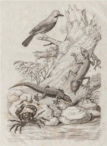 Associate Product Geai (Jay). Eurasian Jay. Gecarcinus (Land Crab). Jecko (Gecko) 1834 old print