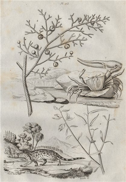 Associate Product Gelasime (long-fingered fiddler crab). Genista germanica. Genet. Juniper 1834