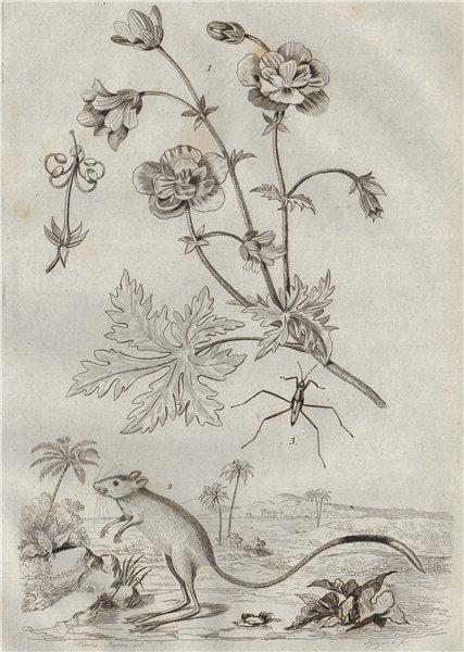 Associate Product Géranier (Geranium). Gerboise (Jerboa). Gerridae (Water Strider) 1834 print