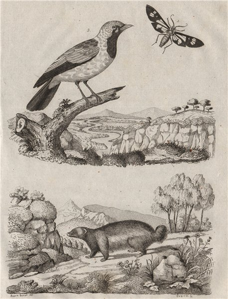 Associate Product Glaucopide. Glouton (Wolverine). Gobemouche (Flycatcher) 1834 old print