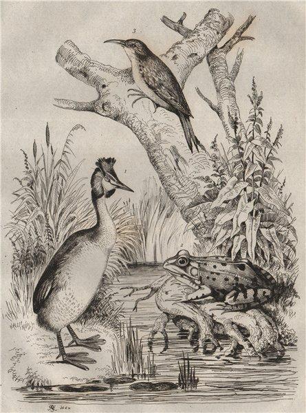 Grèbe (Grebe). Grenouille (Frog). Grimpereau (Nuthatch) 1834 old antique print