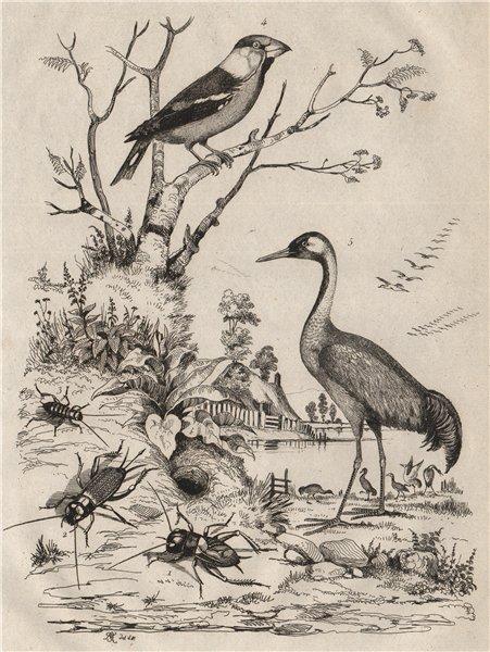 INSECTS. Grillon (Cricket). Gros Bec (Grosbeak). Grue (Crane) 1834 old print