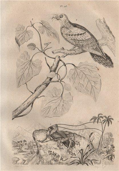 Associate Product Gryllon monstrueux (Cricket). Guacharo (Oilbird). Guaco (Mikania) 1834 print