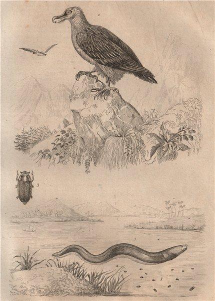 Associate Product Electric Eel. Gypaète (vulture). Gyrinidae (whirligig beetle) 1834 old print