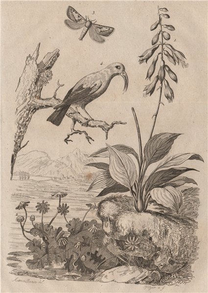 Associate Product Daylily. Hepatica/liverwort. Hepialidae (Swift moth). Hawaiian honeycreeper 1834