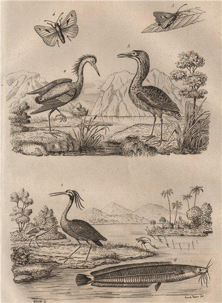 Associate Product Yellow-crowned night & Squacco Herons. Eurasian Bittern. African catfish 1834