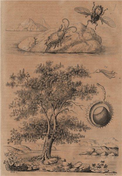 Associate Product Hippidae (mole crab). Hippobosca fly. Hippocastanum (horse chestnut tree) 1834