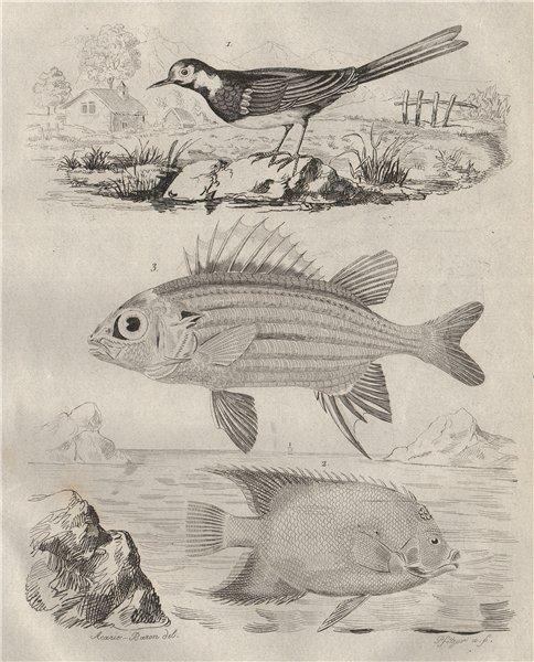 White wagtail. Holacanthus angelfish. Holocentrinae (squirrelfish) 1834 print