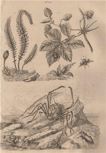 Associate Product Homola crab. Hookerie. Hoplia coerulea. Horia beetle. Houblon (Hop) 1834 print
