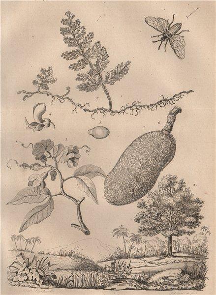 Associate Product Arge ochropus (rose sawfly). Hymenaea courbaril. Hymenophyllum (filmy fern) 1834