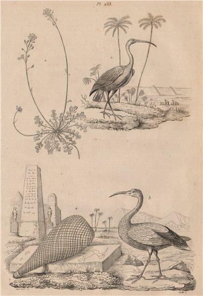 Associate Product Iberis (candytuft). Ibis rouge (Scarlet Ibis). Ibis Sacré (Sacred Ibis) 1834