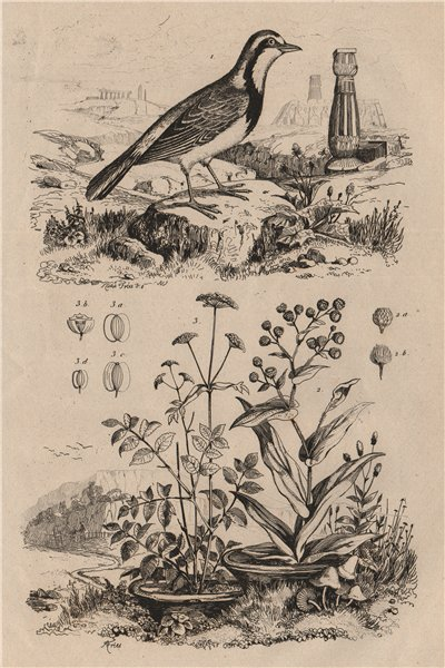 Associate Product Imitator bird. Shrubby everlasting. Imperatoria ostruthium (Masterwort) 1834