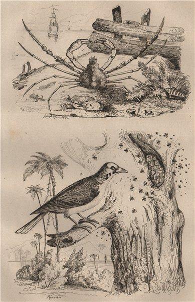 Associate Product ANIMALS. Inachus crab. Indicator bird (Honeyguide) 1834 old antique print
