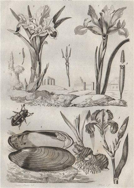 Associate Product Ips beetle. Iridina mollusc. Iris flower 1834 old antique print picture