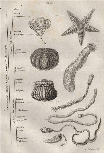 Associate Product ECHINODERMS. In 2 orders. Classification. Marine animals 1834 old print