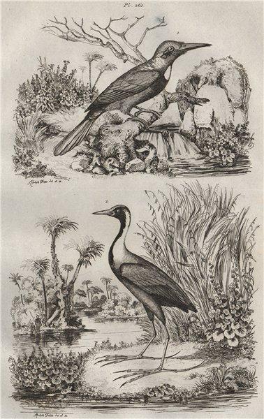 Associate Product BIRDS. Jacamerops (Great Jacamar). Jacana/Jaçana 1834 old antique print