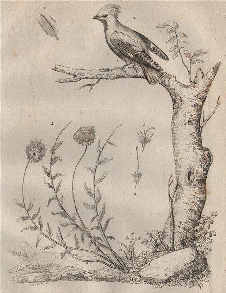 Associate Product BIRDS/PLANTS. Jaseur (Waxwing). Jasione 1834 old antique vintage print picture